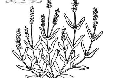 lavender herb embroidery pattern